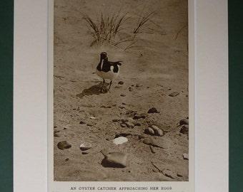 Original 1920s Print Of An Oyster Catcher - Nest - Eggs - Beach Bird - Matted - Ornithology - Black & White - Photograph - Antique - Sepia