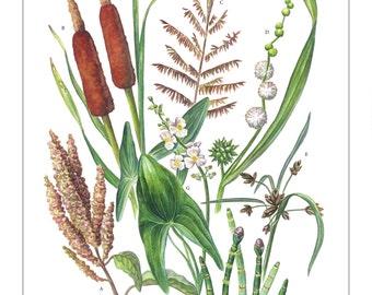 "Wetland Plants 11""x14"" Print"