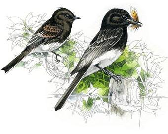 Black Phoebe watercolour - bird art, wildlife art - nature print of original artwork