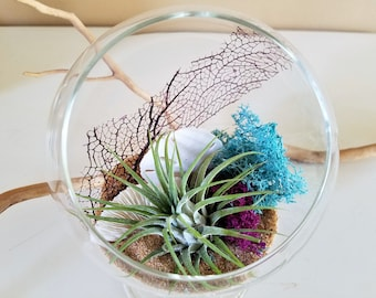 Air plant terrarium kit -  gift - Glass terrarium - Footed glass terrarium - Sea fan - Sea shell - Holiday gift
