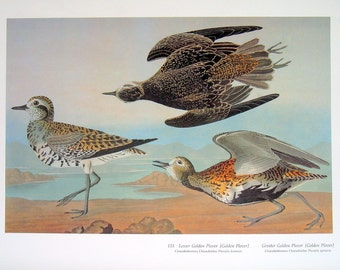 Large Audubon Bird Print - Lesser Golden Plover - Greater Golden Plover - Large 1981 Vintage Audubon Bird Book Page