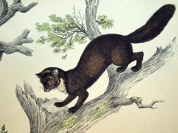 Antique Print of Mongoose, Martens, Polecat, and Genet - 1889 Large Chromolithograph