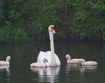 Mute Swan Family - Cygnets 9 days old