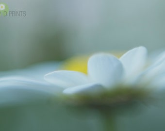 Daisy flower photography, Muted, fine art print, New England summer, flower photography,shabby chic, white, yellow, green, floral wall art