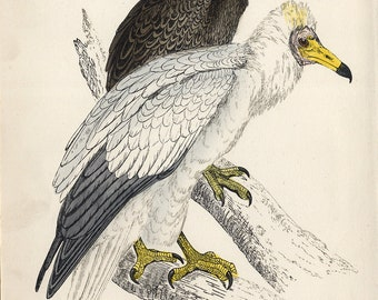 antique etching Egyptian Vulture 1860