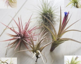 FIVE AIR PLANTS // Mixed Box of Airplants