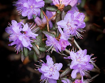 Tiny Purple Rhododendron #174
