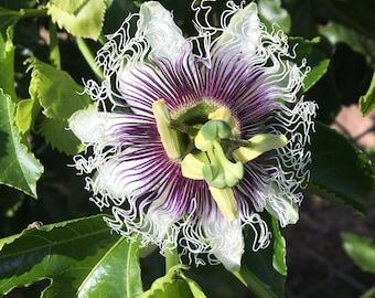 Passionflower Essence - Organic