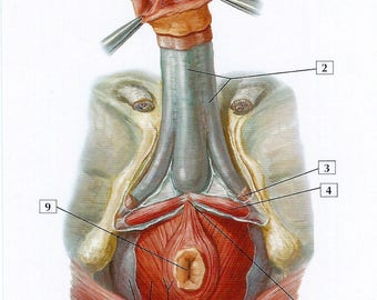 Male Perineum and Penis Anatomy Flash Card by Frank H. Netter to Frame or for Paper Arts, Collage Scrapbooking and MORE PSS 3087