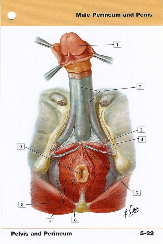 Male Perineum And Penis Anatomy Flash Card By Frank H Netter To