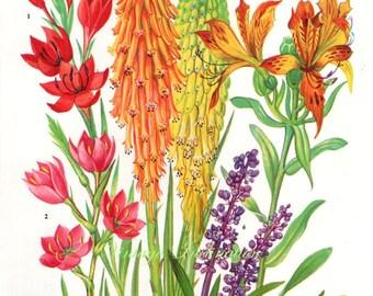 Vintage Print FLOWERS  Schizostylis Liriope 173 chart beautiful 1960 wall art antique color lithograph illustration wild garden