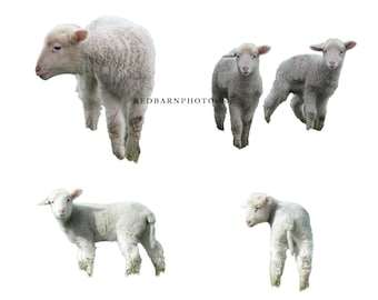 Spring lamb / sheep PNG Overlay