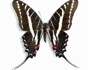 WHOLESALE lot of 10-  Real Butterfly red white black zebra swallowtail Protographium Eurytides philolaus