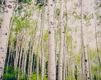 Colorado Aspen Birch Trees, Nature Forest Photography, Tree Home Decor, Green, Summertime, Fine Art Nature Photo, Trees, Leaves, Aspen Photo