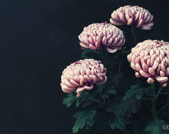Chorus; fine art photography, modern, wall art, floral photography, floral, dark floral, art, photo, botanical, pink floral by F2images