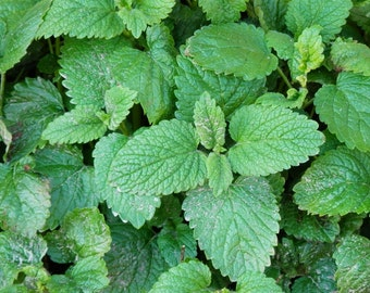 how to make lemon balm essential oil