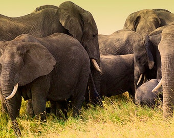 African Elephants in the Serengeti. Fine Art Photography by Roy Hsu