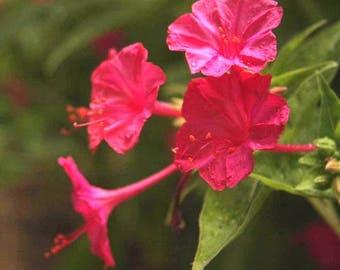 Mirabilis jalapa Marvel of Peru Plants and Tubers FREE SHIPPING