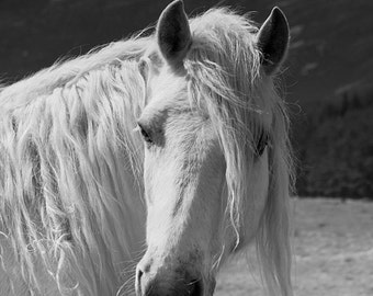 Horse photography, equine art, nature photo, white horse, scottish highland pony, equine decor