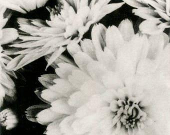 Mums. Black and white photogravure. Nature print.