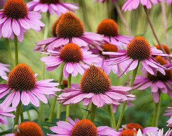Echinacea, Purple Coneflower Heirloom Seeds - Non-GMO, Open Pollinated, Untreated, Flower Seeds, Wildflower, Native Seeds