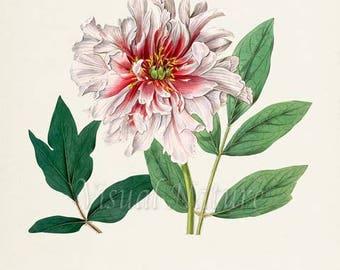 Chinese Tree Peony Flower Art Print, Botanical Art Print, Flower Wall Art, Flower Print, Floral Print, Pink Peony Art Print