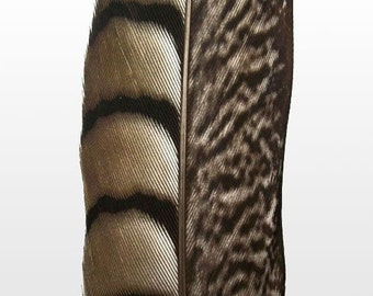 """Lady Amherst Pheasant Feathers.  8/10"""" (20-25cm) .  UK Supplier"""