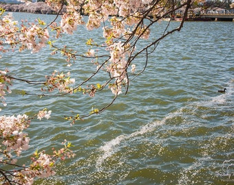 Cherry Blossoms Photo, Washington DC, Cherry Blossoms Photo, DC Photography, Cherry Blossom Festival