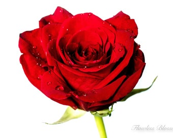 Red Rose - Nature Photography