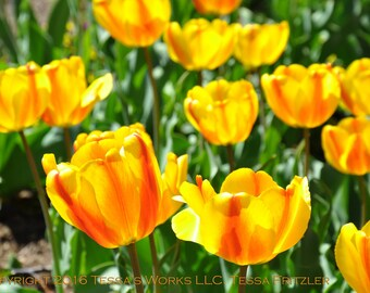 Tulip Garden 8x10 glossy print