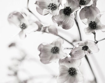 Botanical Still Life Photography -  Dogwood Blossoms, Black and White Wall Decor, Sepia Floral Photograph,  Large Wall Art