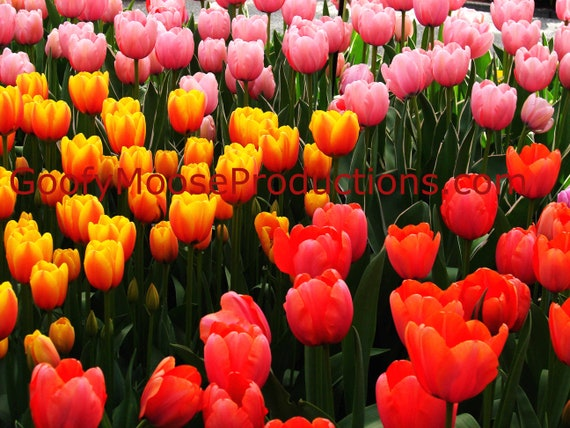 Tulip Flower Photo Instant Download - Pink, Yellow and Red Flowers Art Photography - Netherlands Keukenhof Travel Photography
