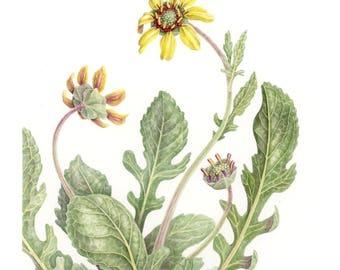 Chocolate Daisy Botanical Giclee Print