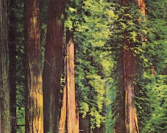 Vintage Postcard of California Redwoods 837 by Selithco Unused