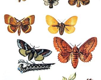 Butterflies Print  - Malacosoma, Lasiocampa Butterflies - 1974 Vintage Book Page - World Butterflies Book - 10 x 8