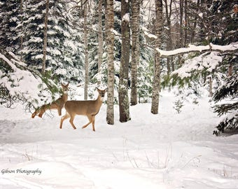 Winter Deer Art, Deer in Snow, White Tail Deer, Deer Photo, Deer Picture, Winter Animal Art, Country Wildlife, Whitetail Deer Print