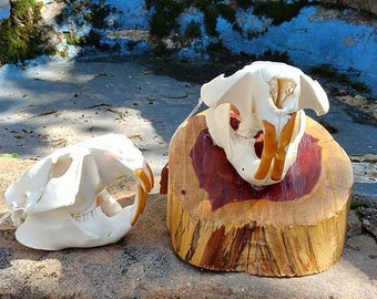Beaver Skull/Animal Skull/Real skull/Bone(skull only)