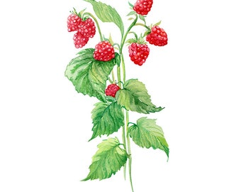 Red Berry Original Watercolour Painting 18