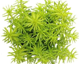 Sedum Rupestre 'Angelina' Herbaceous Perennial Crassulaceae Lime Green Sedum Lemon Coral Sedum Angelina Stonecrop Golden Sedum