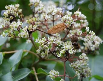 Bee-bee Tree Seeds (Tetradium daniellii) 30+ Seeds