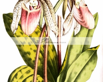Lady Slippers Wild Orchids Cypripedioideae Botanical - Digital Download Printable - Paper Craft Scrapbook Altered Art - Nova Scotia Flowers