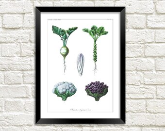 CAULIFLOWER PRINT: Vintage Vegetable Art Illustration Wall Hanging (A4 / A3 Size)