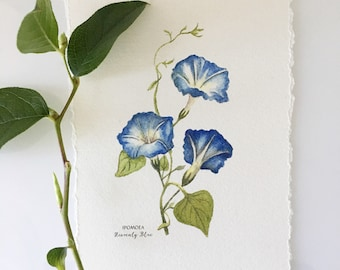 Blue Morning Glory, Heavenly Blue.  Botanical painting of 3 blue morning glories.