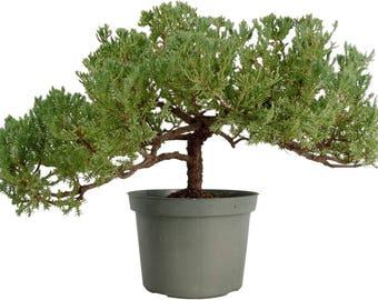 Juniper Bonsai Tree - Windswept (1057)