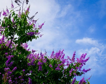 Purple Crape Myrtle Seeds - Unique Colour, Longest Blooming Tree