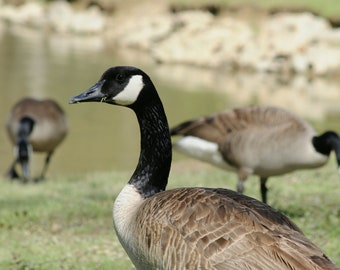 Lunch - Canadian Geese