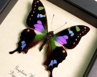 Graduation Gift Framed Butterfly Best Seller Purple Spot Swallowtail  229