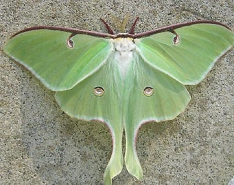 WHOLESALE lot of 10-  Real Green Actias Luna Moth Lunesta Moth USA