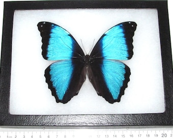Real framed butterfly blue morpho deidamia Peru