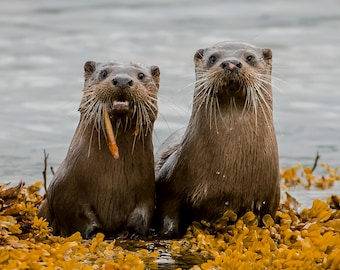 Wildlife Photographic signed mounted A4/A3 Prints of Otters
